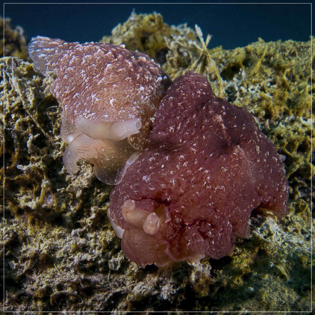 berthella stellata